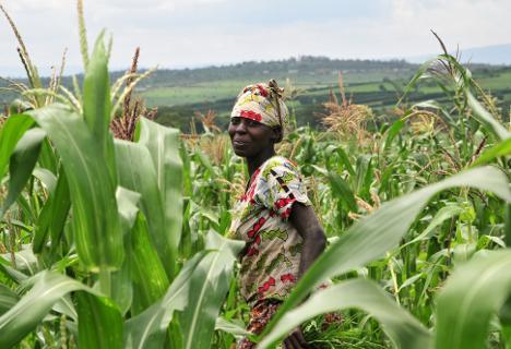 Champ de maïs au Rwanda